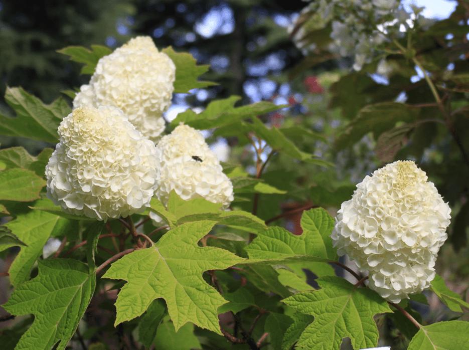 Quercifolia Armony