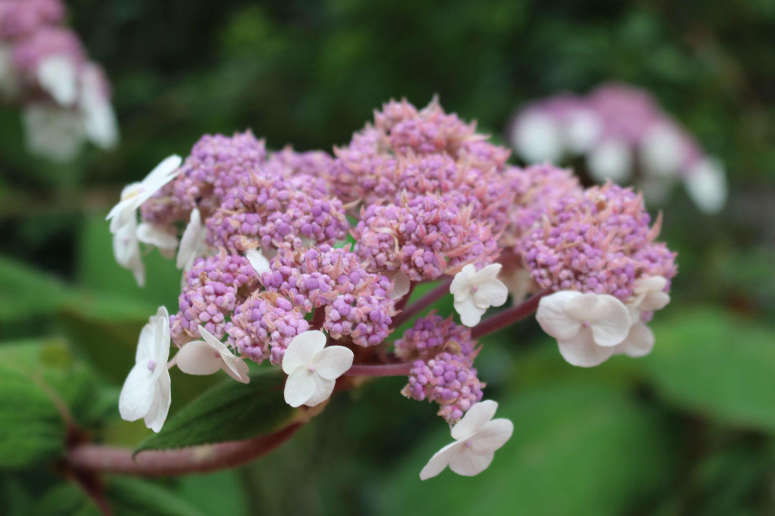 A proposito di  Hydrangea Aspera Macrophylla post thumbnail
