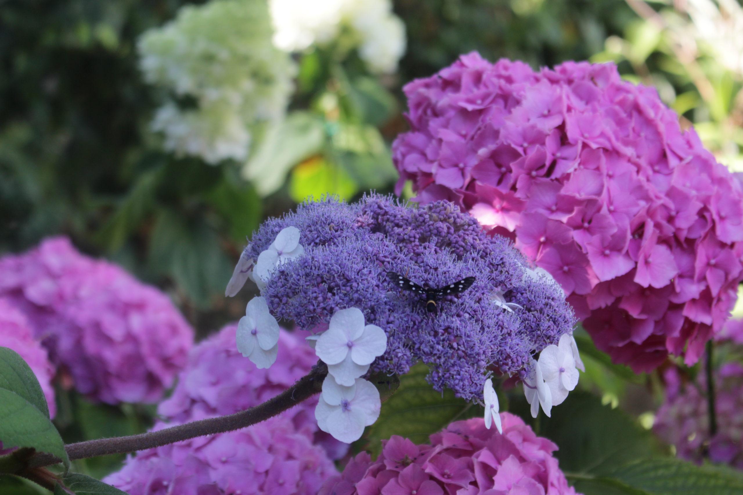 La Aspera Macrophylla dopo .. post thumbnail