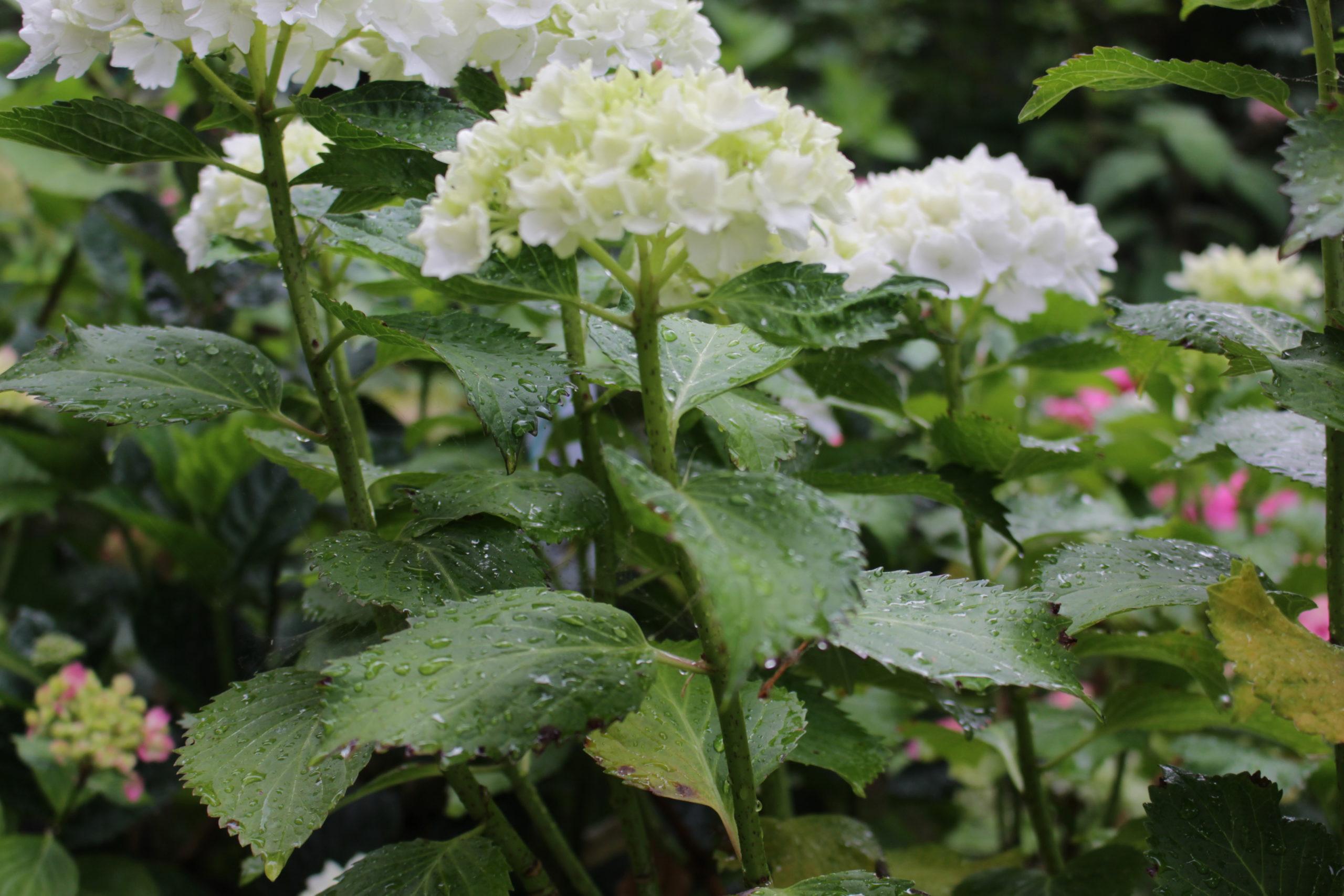 "Hydrangea Macrophylla ""Nimphe"" e la pace. post thumbnail"