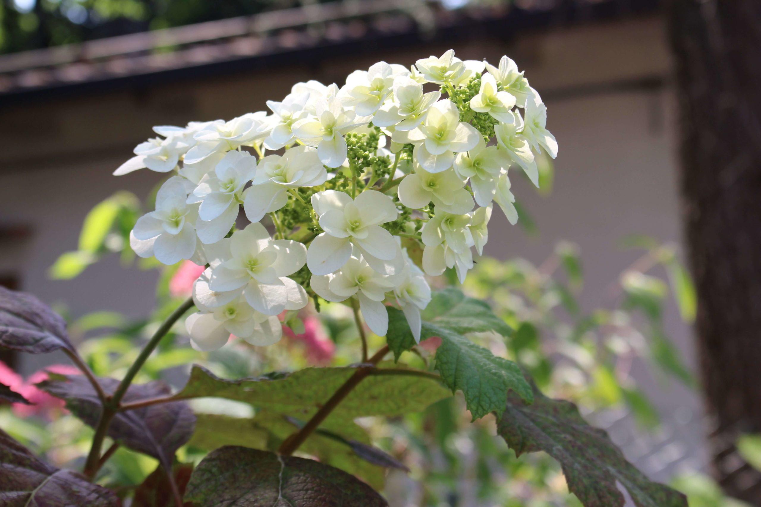 Hydrangea Quercifolia: Snow Flake e Snow Queen post thumbnail