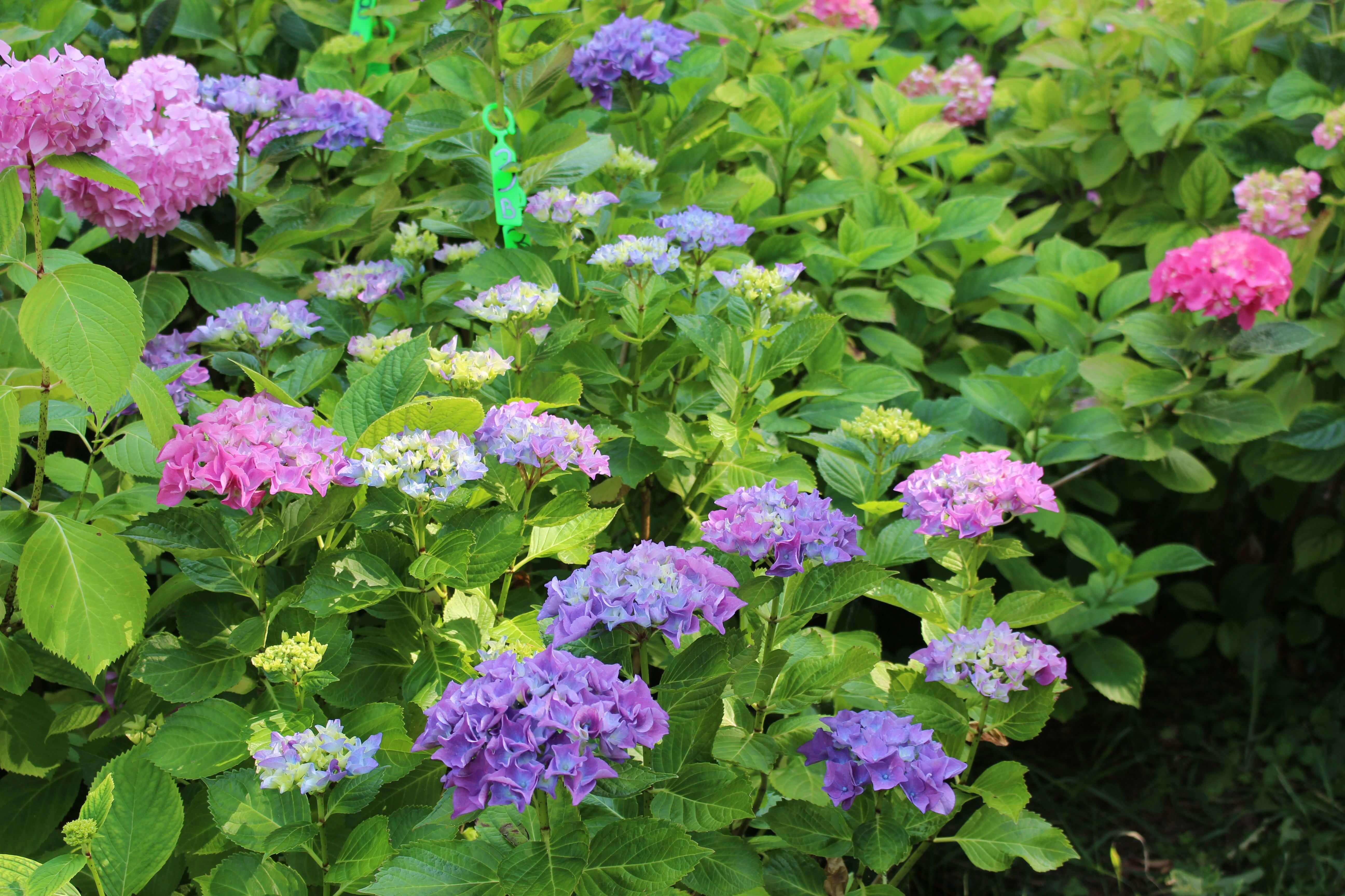 Godere dei colori di un giardino racconti e ortensie - Ortensie colori ...