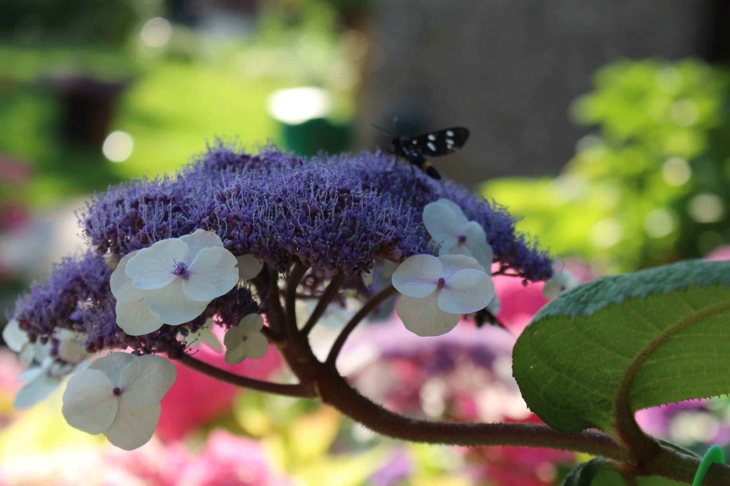 I colori della H. Aspera Macrophylla post thumbnail