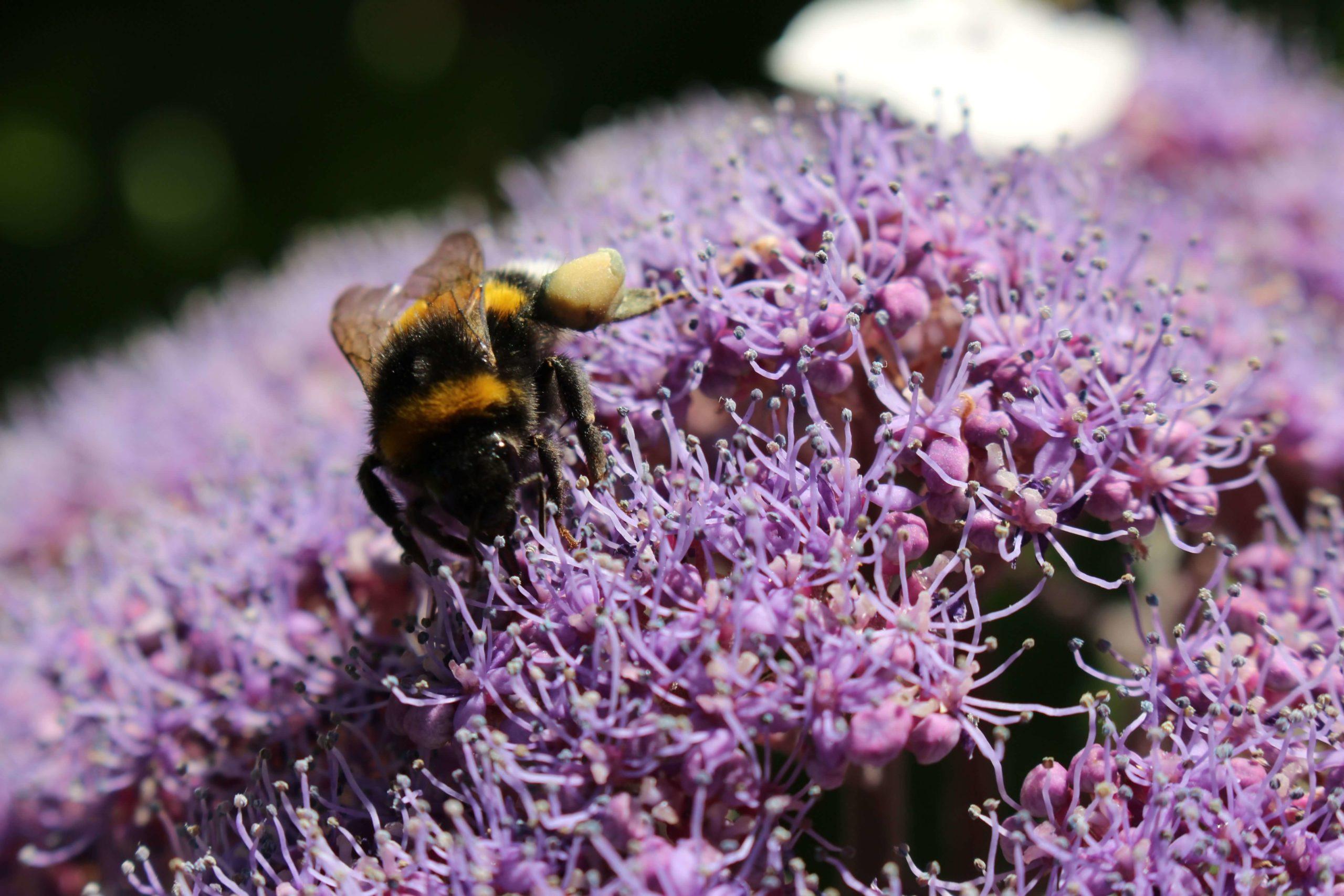 Una bombus al lavoro su H. Aspera Macrophylla post thumbnail