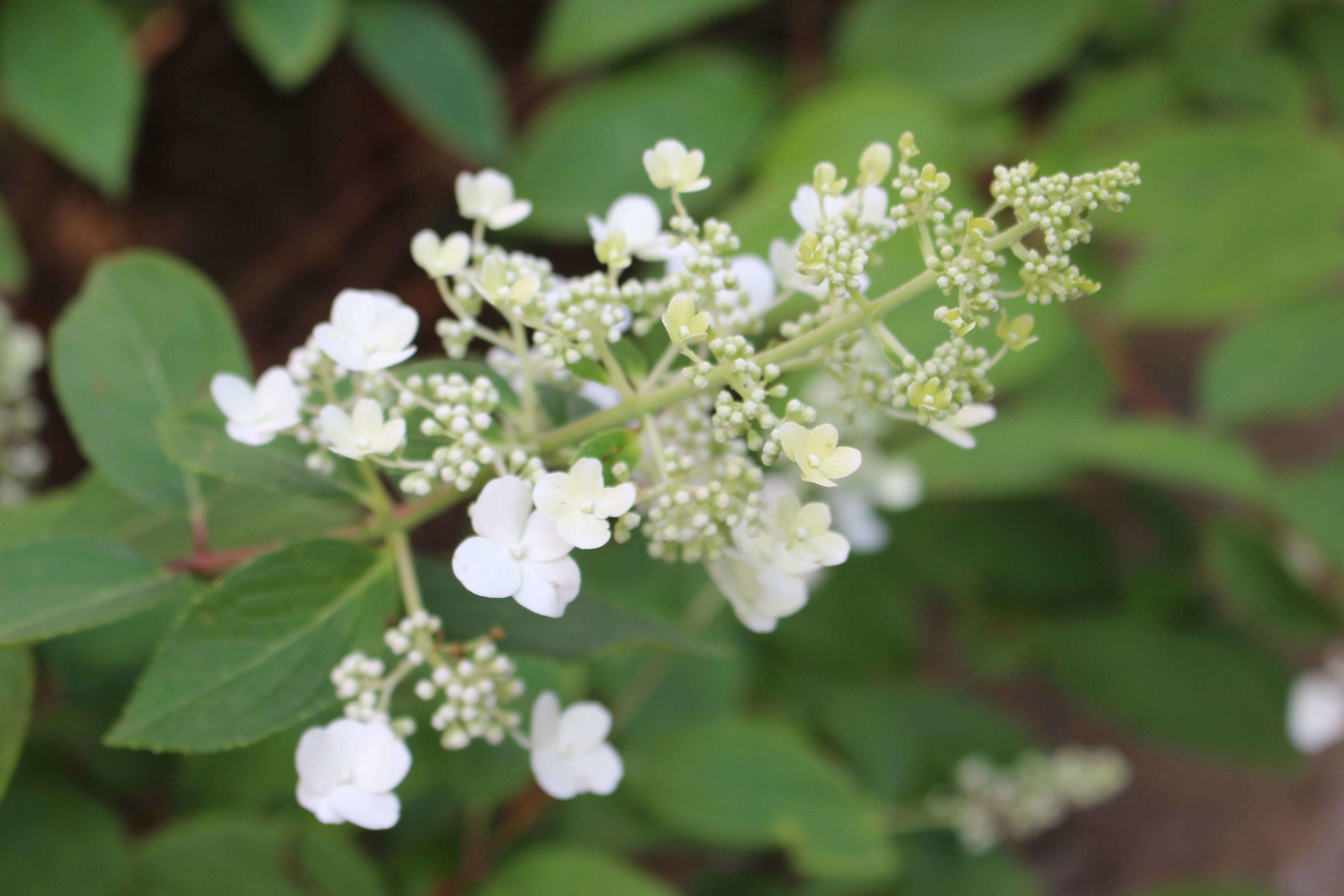 L'ora della Hydrangea paniculata 'Grandiflora' post thumbnail