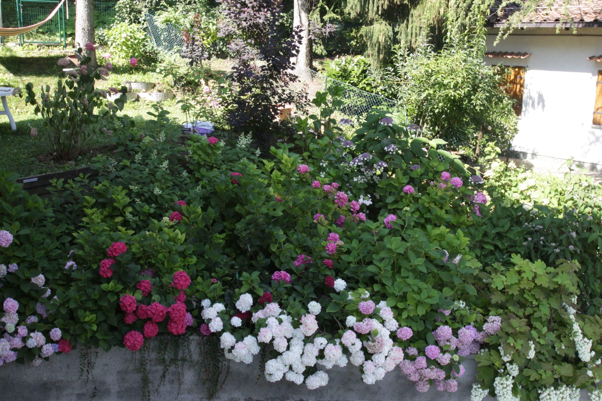 Raccontarci i nostri giardini di ortensie per imparare a gestirli meglio. post thumbnail